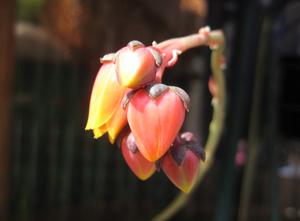 いちご?大和錦のお花